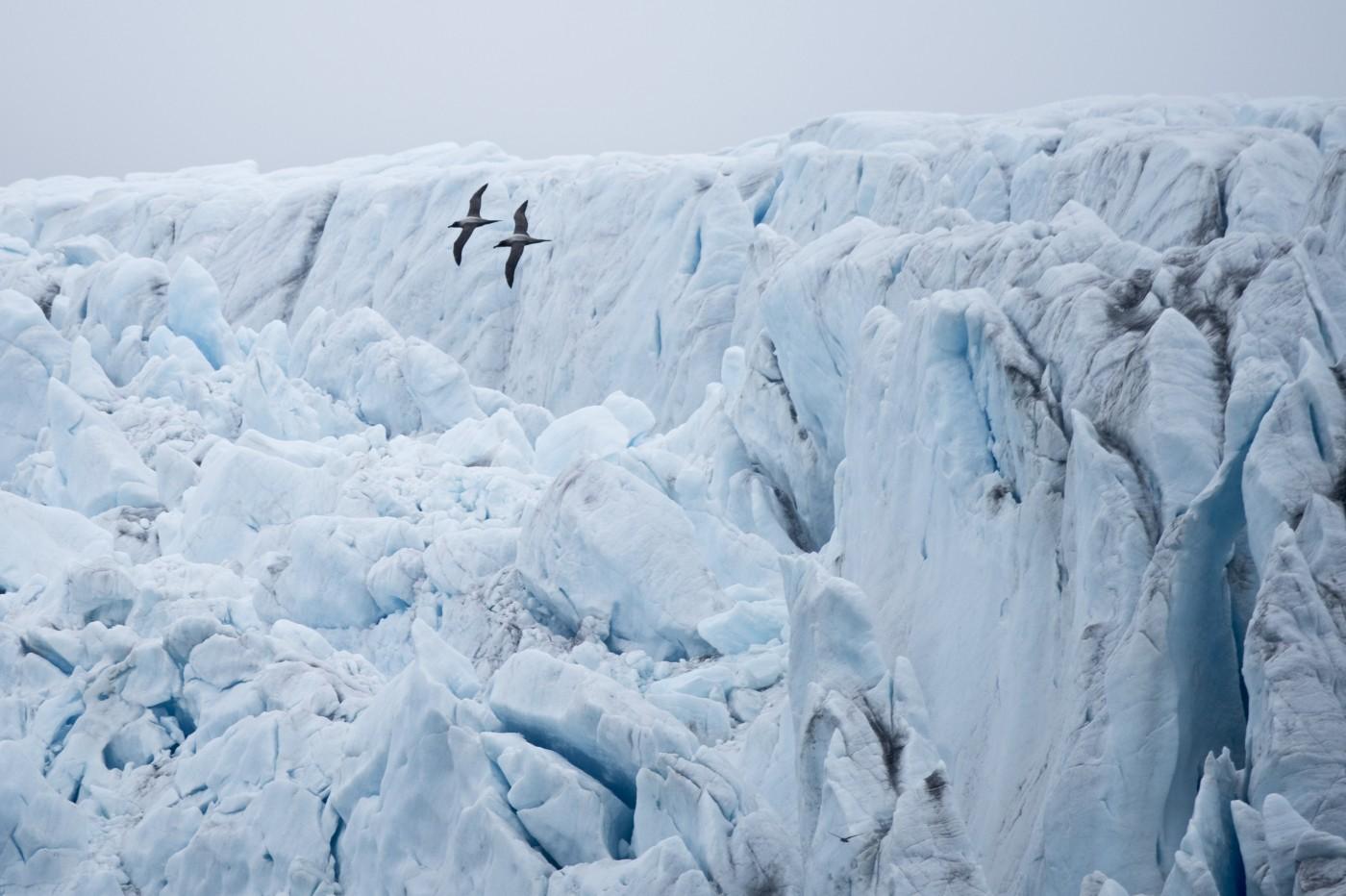 Coppia di albatri lungo la faccia del ghiacciaio della Fortuna, Georgia del sud, Antartide